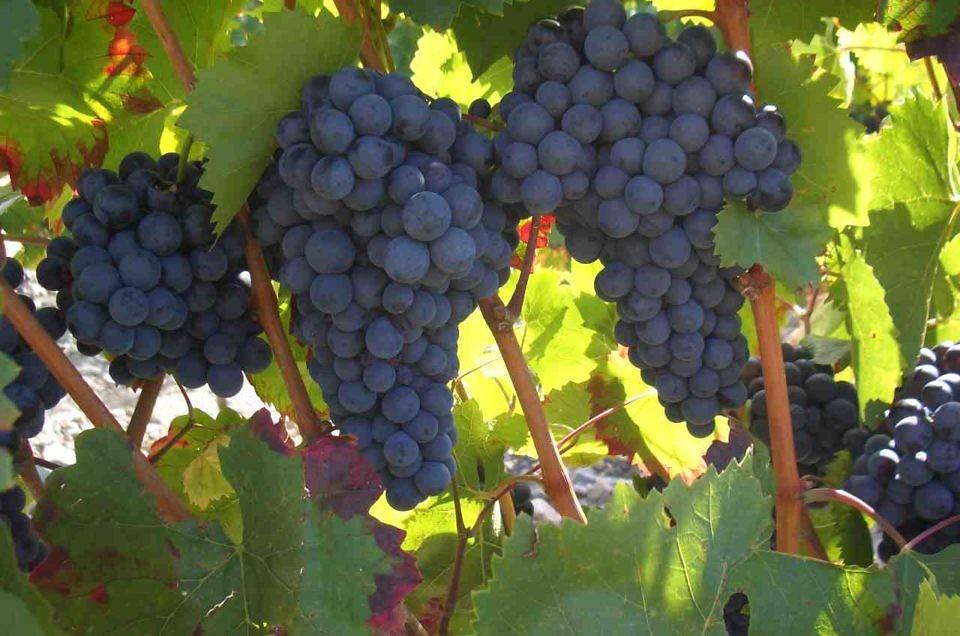 Vins & vignobles oubliés : le cépage mollard à l'honneur !