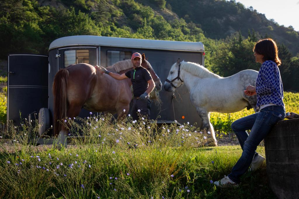 Les deux chevaux Roco et Pompon qui vont travailler les vignes du Domaine Allemand avec leur dresseur Jean-François